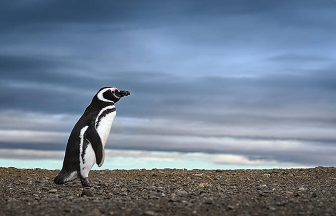 Day-3—Penguin.-Awe-inspiring-travel-image.-High-definition-image.—Stock-image—iStock-468429613