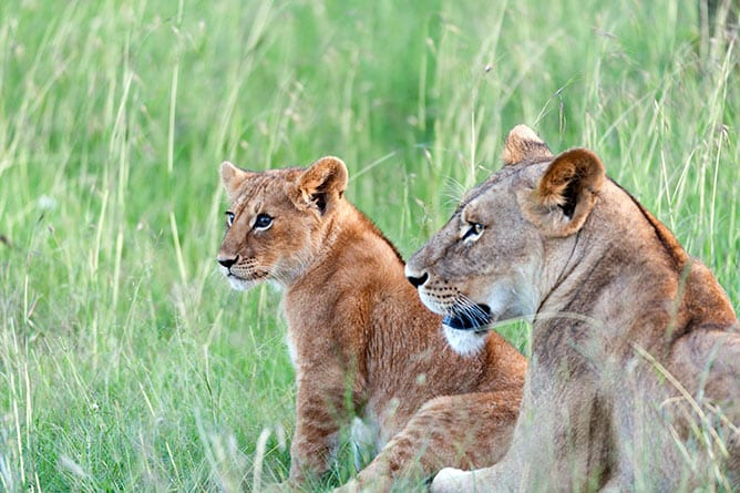 Day-5—Lion-cub-with-bright-eyes-sitting-up-looking-left,-with-mother-lying-next-to-it,-in-green-grass,-Masai-Mara,-Kenya—iStock-815753418