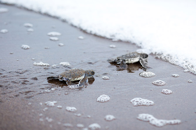 Two newly hatched turtles on their way into the ocean